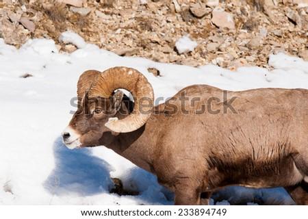 Big Horn Sheep, facing left, full curl - stock photo