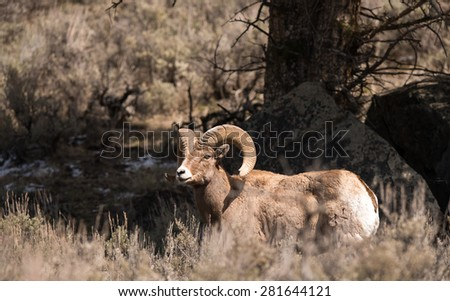 Big Horn Sheep finding cover under a large tree in Yellowstone National Park - stock photo
