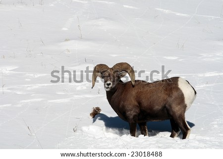 Big Horn Sheep in the snow - stock photo