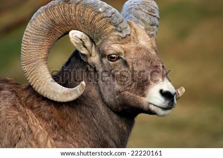 Big Horn Sheep Ram - stock photo