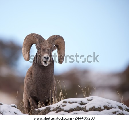 Big Horn Sheep ram, full curl, overlooking territory - stock photo
