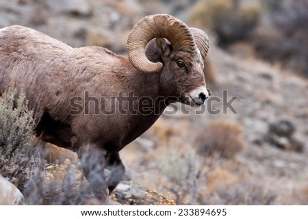 Big Horn Sheep ram running down a hill toward river - stock photo