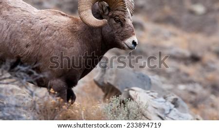 Big Horn Sheep ram running through frame, facing right - stock photo