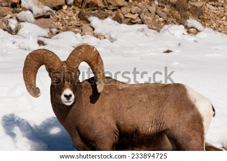 Big Horn Sheep ram with full curl and snow in the background, looking at photographer - stock photo