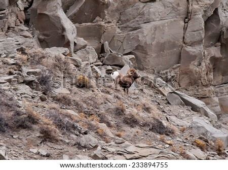 Big Horn Sheep ram with full curl stops to survey the countryside - stock photo