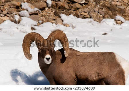 Big Horn Sheep takes a break from foraging for food in the snow to investigate photographer - stock photo