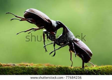 Big horned beetle - stock photo