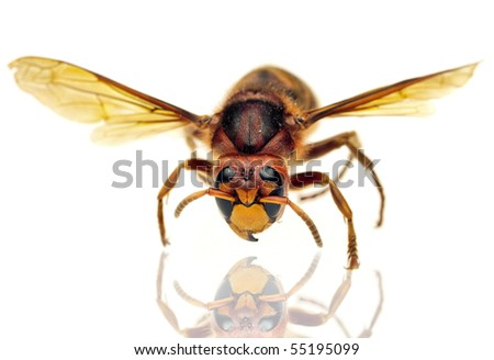 Big hornet on white background - stock photo