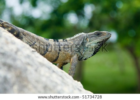 Big Iguana on Rock - stock photo