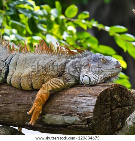 big iguana on wood - stock photo