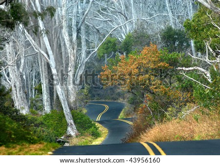 Big Island of Hawaii backroad curves and dips at it winds around tall white tree trunks - stock photo