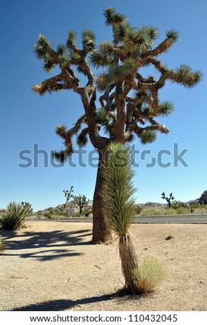 Big joshua tree in Joshua Tree National Park, California. - stock photo