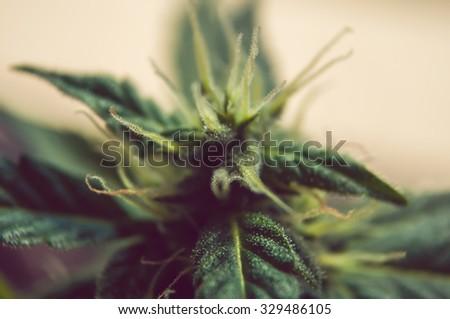 big, juicy selective plants of cannabis closeup - stock photo