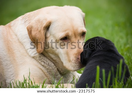 Big labrador dog with little black puppy, laying on grass - stock photo