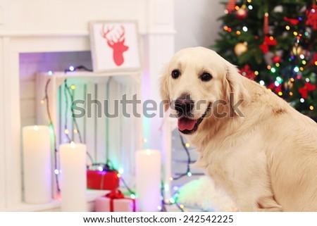 Big Labrador on Christmas decoration background - stock photo