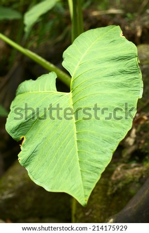 Big leaf at a small natural pool in the cloud forest close to Rio Verde in Central Ecuador (Selective Focus, Focus in the middle of the image) - stock photo