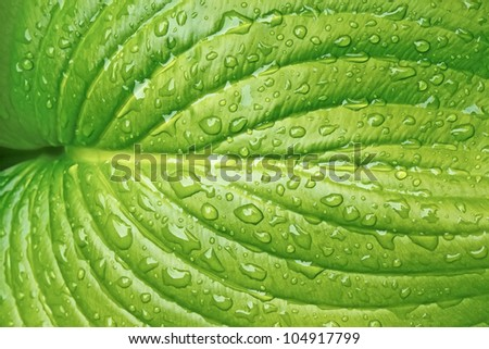Big leaf of light green colours with water drops on bright sunlight