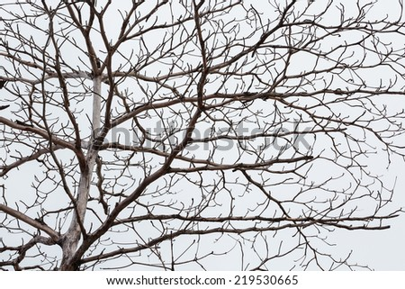 Big leafless tree under white cloud in autumn