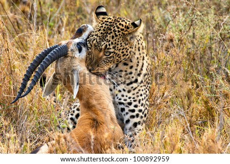 big leopard catches its prey - stock photo