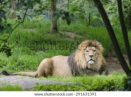 Big lion - stock photo
