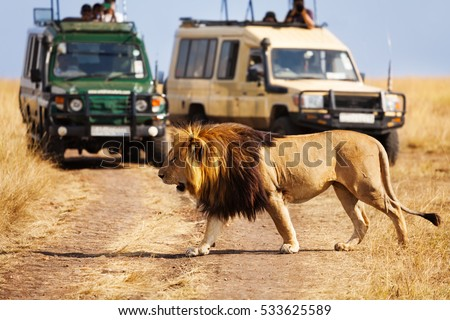 Big lion crossing the road at African savannah