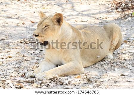 Big lion female mom. - stock photo