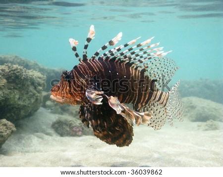 big lion fish - stock photo