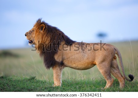 Big Lion Lipstick searching his pride in Masai Mara, Kenya - stock photo
