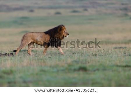 Big Lion Lipstick walking in Masai Mara, Kenya - stock photo
