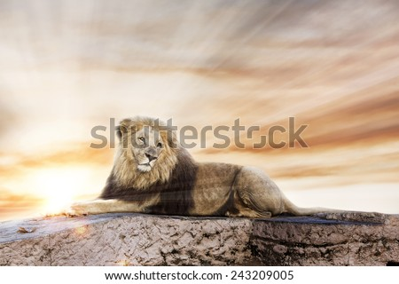 Big lion lying on rock, with a sunset background.  - stock photo
