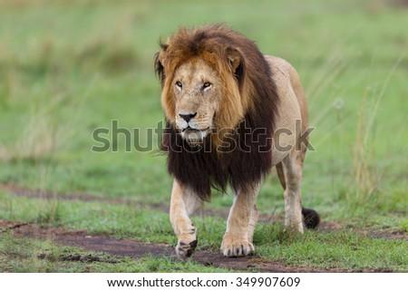 Big Lion Notch II walking in Masai Mara, Kenya - stock photo
