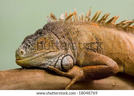 Big lizard sleeping on the branch close-up, isolated background - stock photo