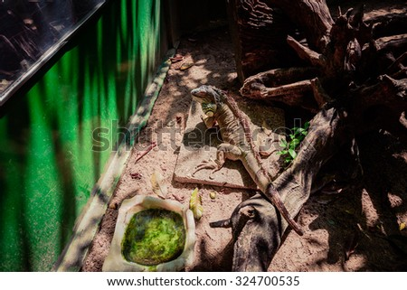 big lizard with a swollen throat sitting on a stone slab among the sand in the cage next to a pot of blooming muddy water and dry branched tree trunk - stock photo