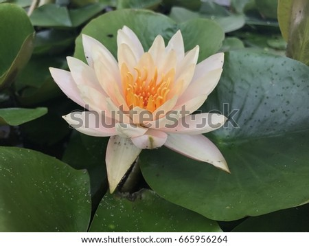 Big lotus flower pond stock photo 665956264 shutterstock big lotus flower in the pond mightylinksfo Image collections