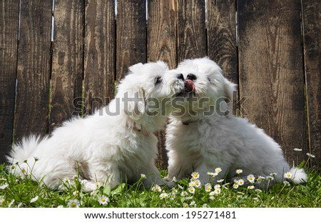 Big love: two baby dogs - Coton de Tulear puppies - kissing. - stock photo