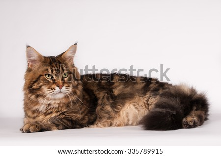 Big mainecoon tabby brown color on white at studio - stock photo