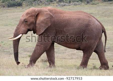 Big male African elephant striding out across grassland