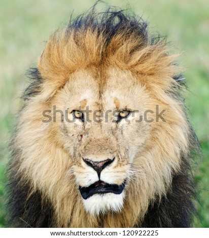 Big male African lion, Masai Mara, Kenya - stock photo
