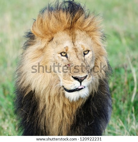 Big male African lion, Masai Mara, Kenya