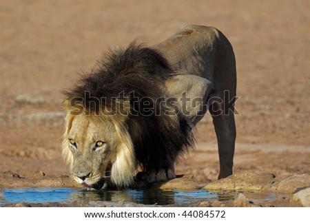 Big male African lion (Panthera leo) drinking water, Kalahari, South Africa - stock photo