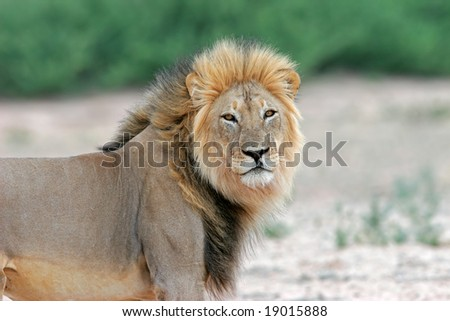 Big male African lion (Panthera leo), Kalahari desert, South Africa
