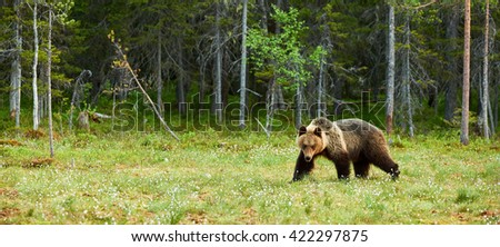 Big male brown bear in a finnish forest in spring - stock photo