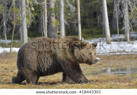 Big male brown bear (Ursus arctos) on a bog in the forest  in spring.