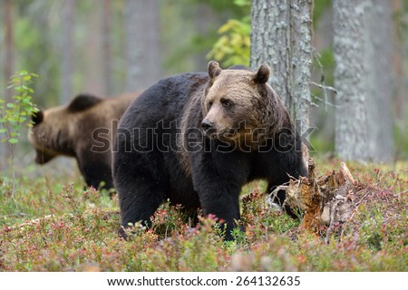 Big male brown bear with other bear in the background  - stock photo