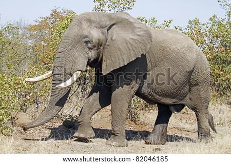 Big Male Elephant - stock photo