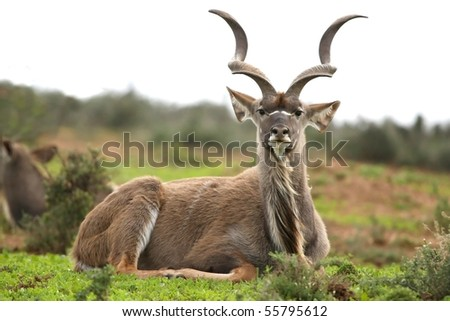 Big male kudu antelope resting on the green grass