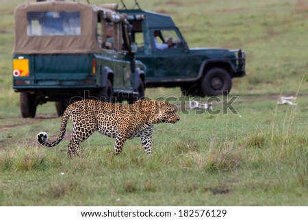 Big male Leopard with safari cars in the background in Masai Mara, Kenya - stock photo