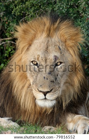 Big Male Lion - stock photo