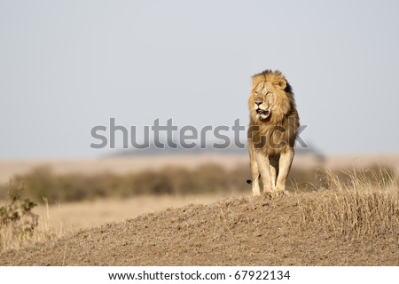 Big male lion in the morning light, Masai Mara, Republic of Kenya, East Africa - stock photo