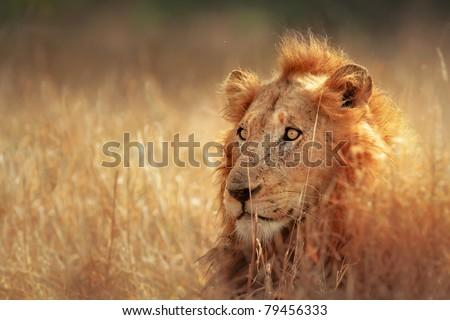 Big male lion lying in dense grassland - Kruger National Park - South Africa - stock photo